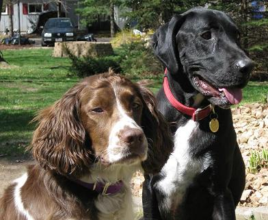 mutt-and-springer-spaniel - how to introduce dogs