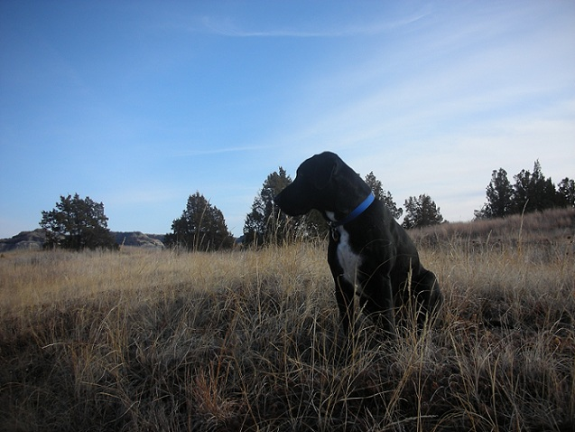 Black lab mix sitting outside in a field with a blue sky