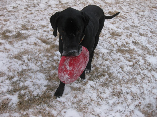 Black Lab retrieves a red frisbee in the snow