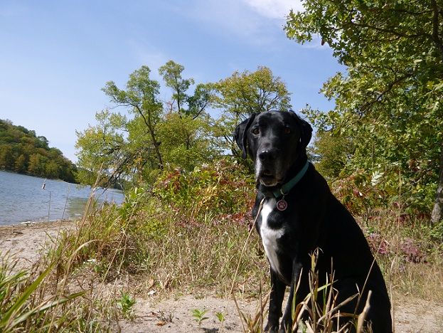 Black lab mix sitting in a park by the water