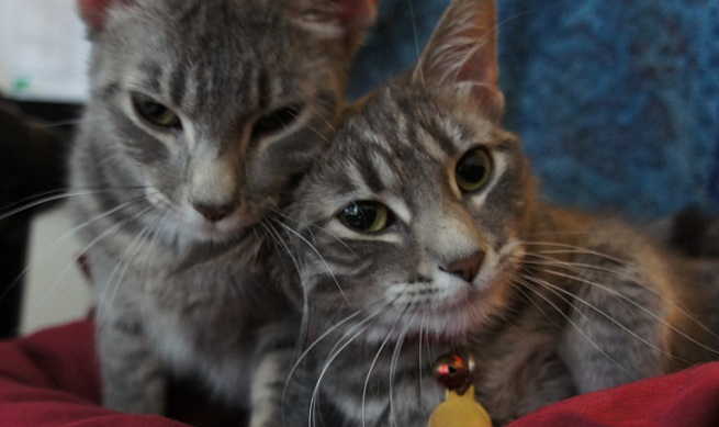 Two gray striped tabby cats cuddling