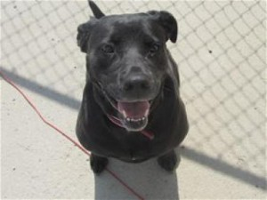 Cute black lab pitbull mix for adoption in Detroit Lakes, MN