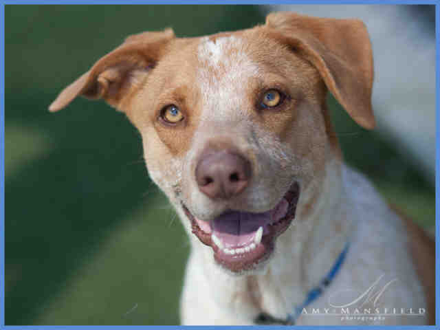 Pointer/pitbull mix for adoption with the County of San Diego Department of Animal Services