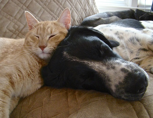 Orange tabby cat cuddling with black and white dog