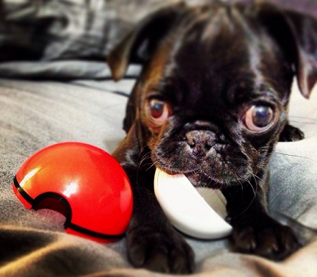 Cute black pug puppy chewing