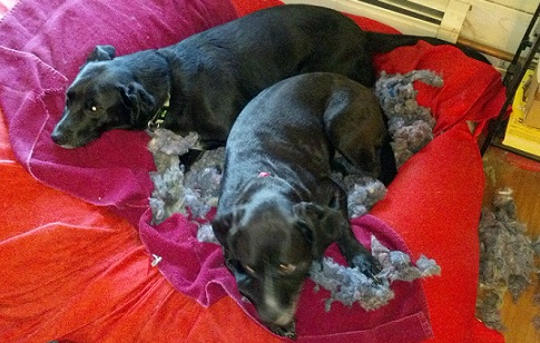 Dogs ripped up bed to make a nest
