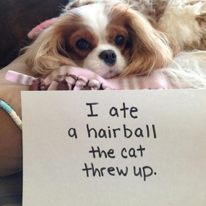 Brown and white Cavalier King Charles spaniel eats cat's hairball