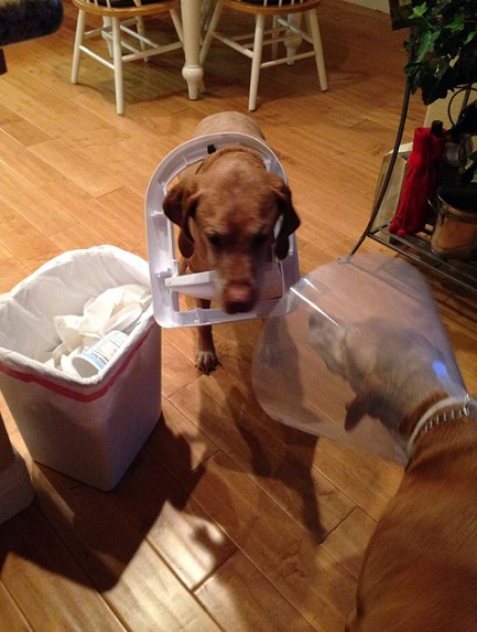 Vizsla in a cone collar