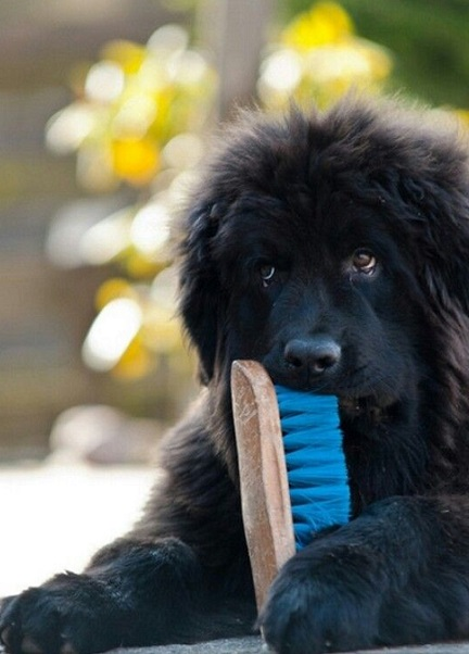 Newfoundland puppy steals brush
