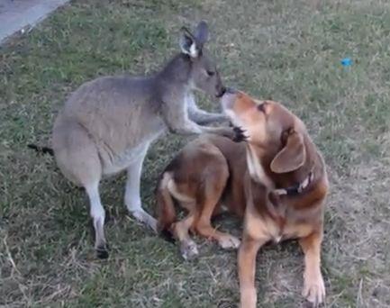 Hound mix friends with kangaroo