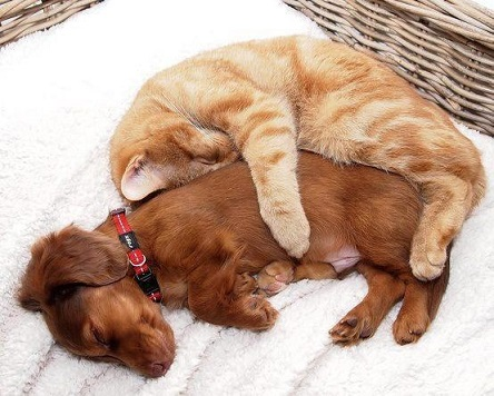 Dachshund and orange cat spooning