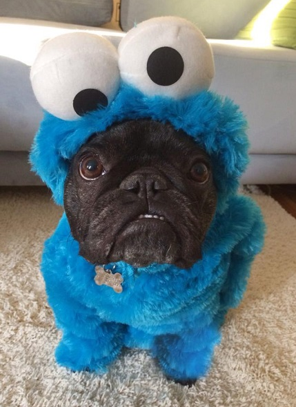 Pug in a cookie monster costume