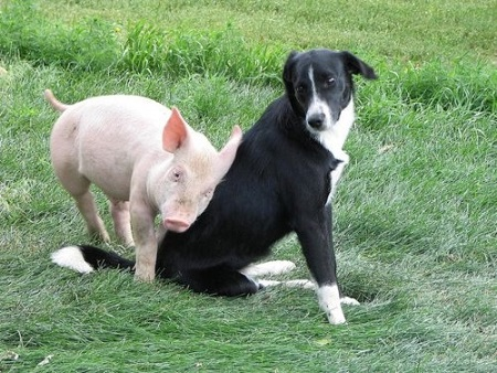 Pig and dog friends