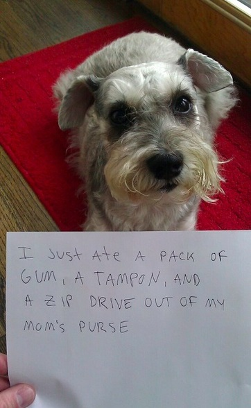 Dog ate a pack of gum and a tampon