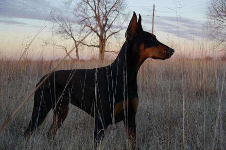 Beautiful doberman