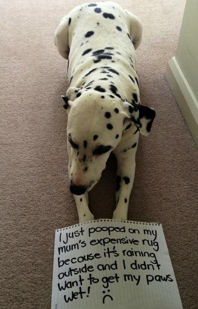 Dog shaming dalmatian