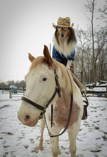 Sheltie riding a horse