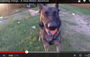 Aww, German shepherd dogs catching toys in slow motion