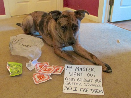 Dog shaming - mixed-breed dog ate guitar strings