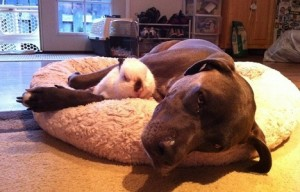 Pawsitive Pitbulls: Pitbulls and bunnies (10 photos)