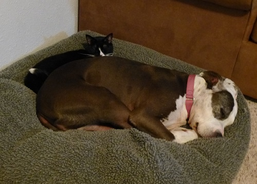 Black cat cuddling with brown and white senior pitbull