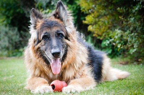 Longhaired shepherd senior