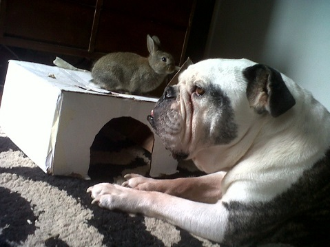 English bulldog and rabbit