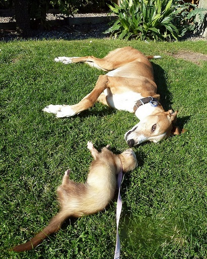 Ferret with greyhound