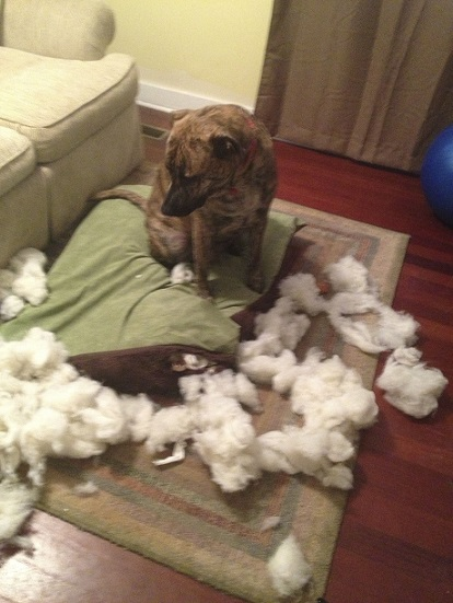 Brindle dog shredded the dog bed