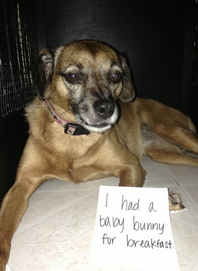 Dog shaming dog ate a baby bunny