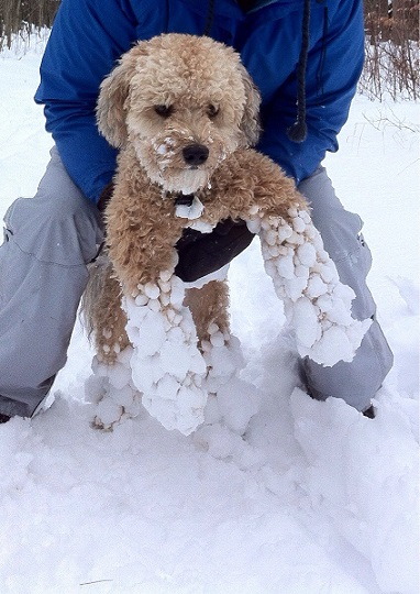 Snow stuck to poodle mix