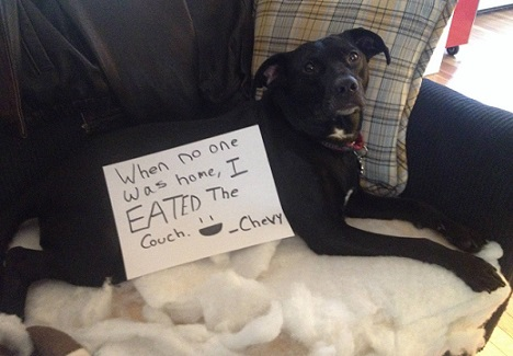 dog shaming mixed-breed mutt chewed up the couch