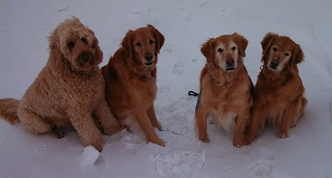 Goldendoodle and goldens in snow