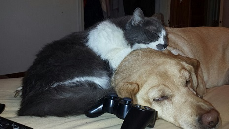 Louie the gray and white cat cuddling with Maggie the Yellow Labrador