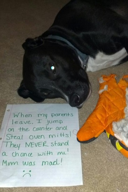 Dog shaming black and white dog steals oven mitts