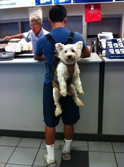 Westie riding in backpack