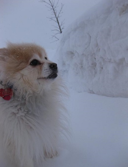 Pom mix in the snow