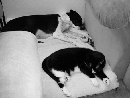 Eli the pointer springer mix and millie the black and white cat