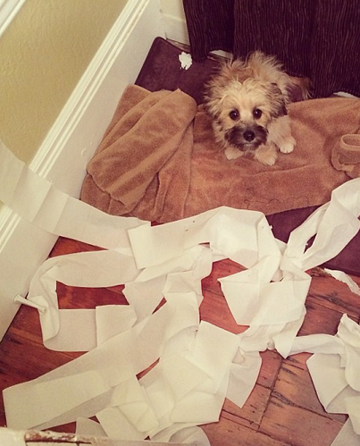 Small dog destroys toilet paper rolls