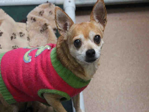 Chi dog wearing a sweater