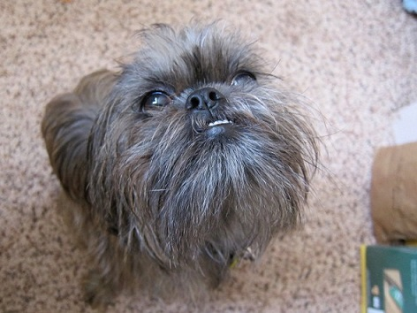 Such a cute little bearded dog