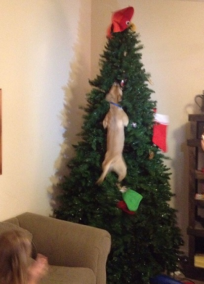 Dog climbs Christmas tree