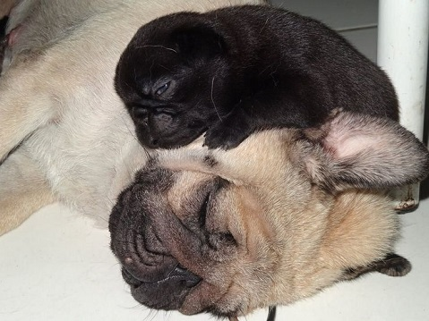 Pug puppy on top of adult pug