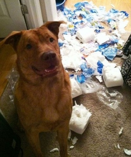 Dog destroyed toilet paper rolls