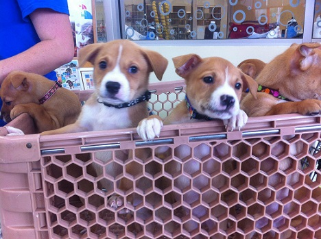 Mixed breed puppies, brown and white