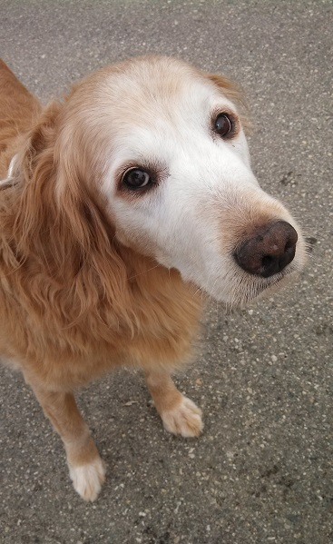 Senior golden