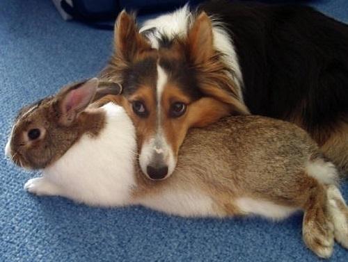 Sheltie with bunny