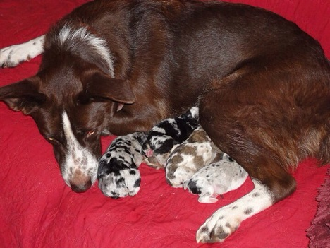 Mama border collie with her babies
