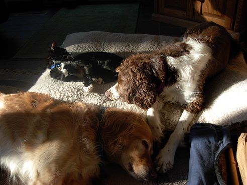 Do Cocker Spaniels Get Along With Cats