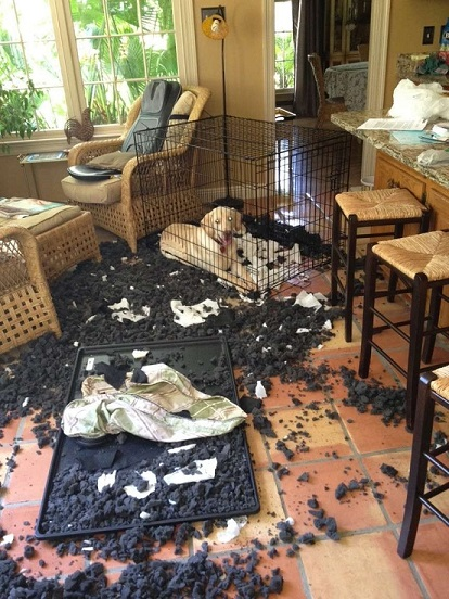 Lab shreds dog bed and kennel